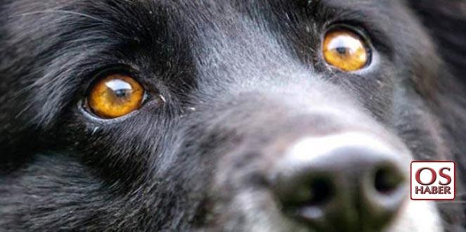 Köpeklerin gözünde manyetik alanları algılayan moleküller bulundu