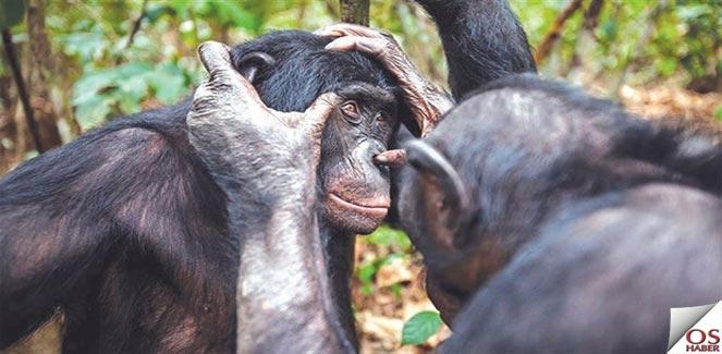 Bonobolar gözlüğe ihtiyaç duyabiliyor
